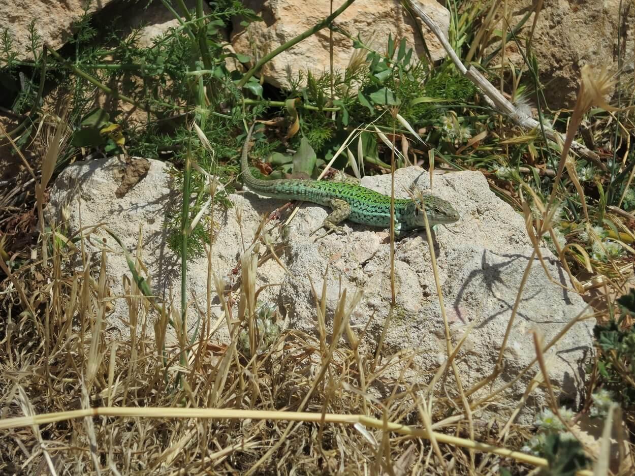 HETibiza Formentera lizard